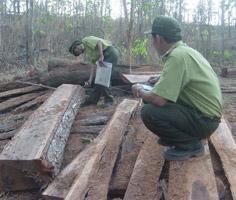 Một bãi gỗ được phát hiện tại Lâm trường Buôn Ja Wầm.